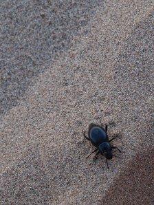 57076507-sand-beetle